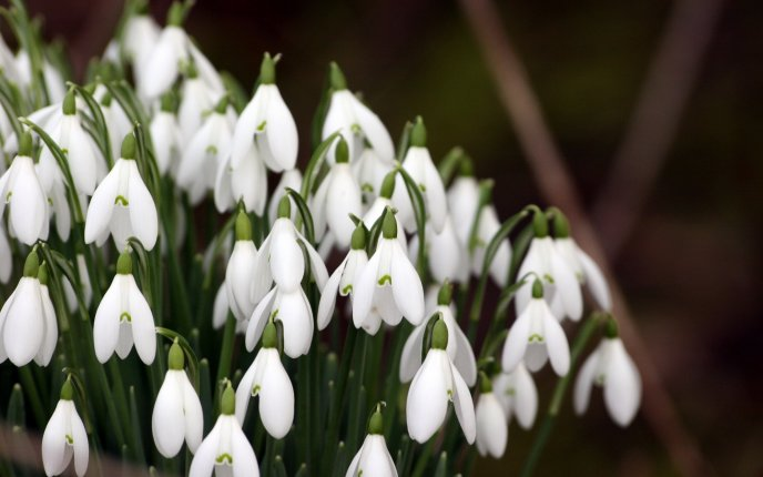 Amazing Spring flowers - White snowdrops in a bouquet
