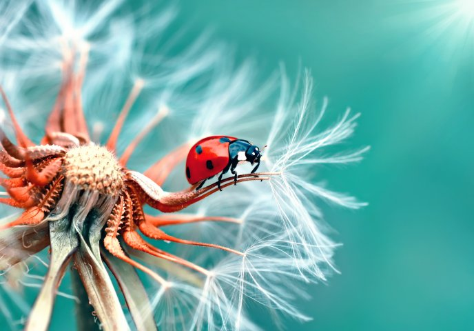 Wonderful macro wallpaper - Ladybug on a petal of dandelion