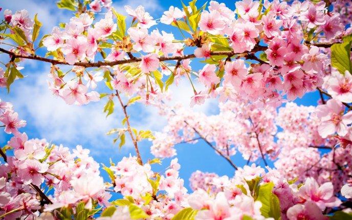 Wonderful cherry tree blossom flowers spring season perfume mightylinksfo