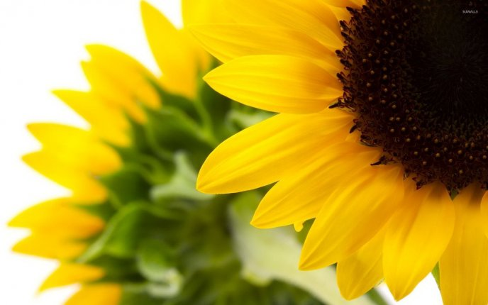 Perfect yellow petals from a beautiful Sunflower flower