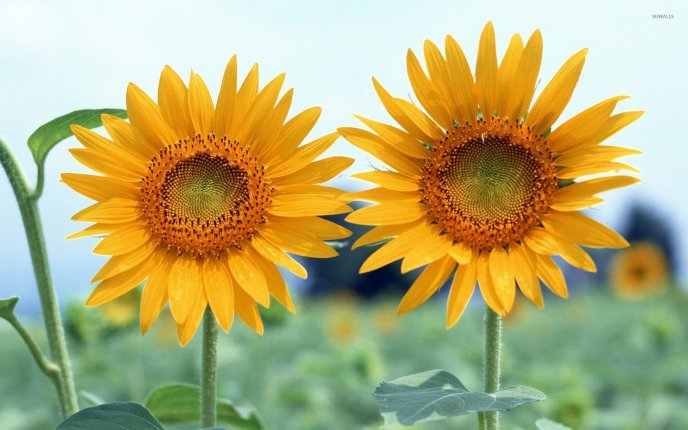 Two big Sunflowers in the field - HD wallpaper