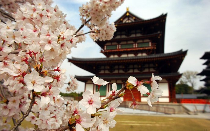 Asian Cherry in blossom and building in back - HD wallpaper
