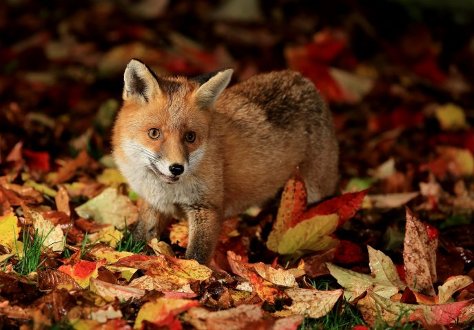 Little fox in the forest looking for food - Autumn season