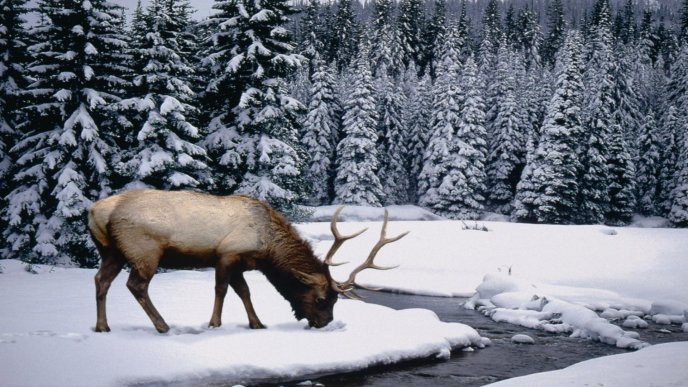 Big wonderful wild animal - White cold snow Winter season