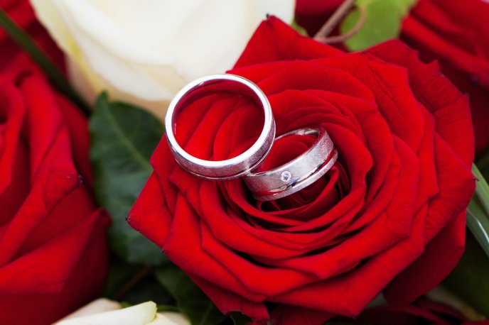 Wedding rings and beautiful red rose - Valentine's Day