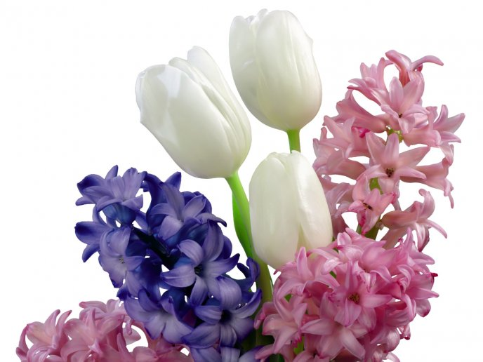 Perfumed hyacinth flowers and beautiful white tulips- Spring