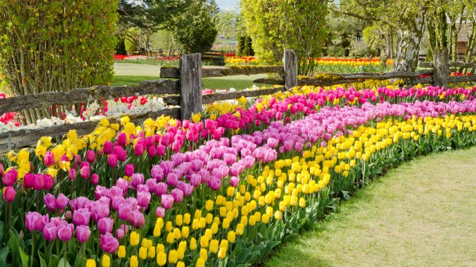 Beautiful yellow pink tulips in the garden - Spring flowers