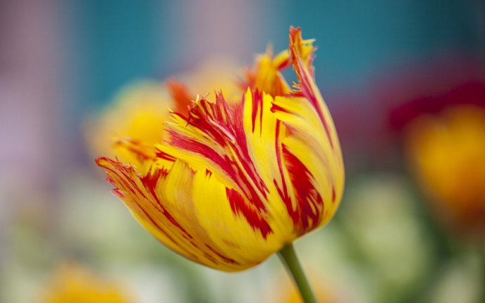 Wonderful red and yellow tulip - Macro professional photo