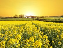 Yellow flower field spring wallpaper
