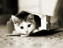 Little kitty hiding in a cereal box