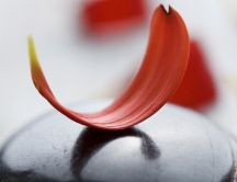 Red petal on a black stone