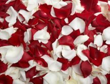 Bed of white and red rose petals