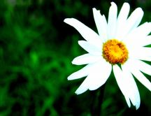 A beautiful white daisy flower