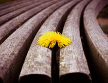 A sweet yellow dandelion HD wallpaper