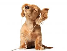 Sweet puppy listening to music with headphones