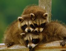 Family of raccoons - sweet animals