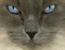 Sweet blue eyed cat and gray face close up