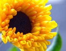 Sunflower close up HD wallpaper