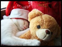 Cat sleeping with it's teddy bear - Christmas Ho Ho Ho!