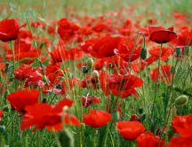 Red Poppy flower field HD wallpaper