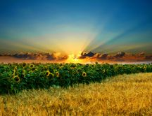 Beautiful sunrise over the sunflower field