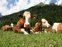 Cute cows relaxed on the grass in the mountain