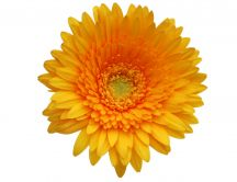 A strand of orange gerbera HD wallpaper
