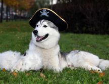 Huski dog with pirate hat HD wallpaper