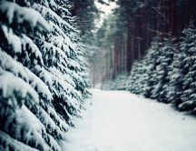 Snowy path between trees HD wallpaper