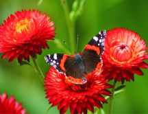 A butterfly on some red peonies HD wallpaper
