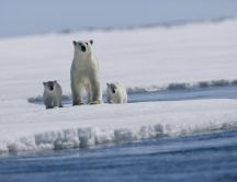 Mother bear with her ​​cubs on a piece of ice