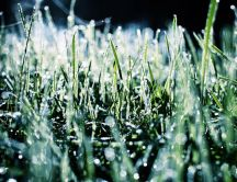 Blades of grass frozen on the morning
