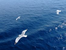 Seagulls flying over blue sea - HD wallpaper