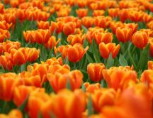 Hundreds of orange tulips - spring comes