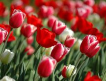 Red tulips - spring flowers