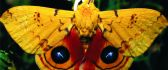 Yellow butterfly with velvet wings - macro wallpaper