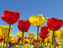 Beautiful field full of yellow and red tulips - spring time