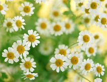 Lovely chamomile flowers - spring HD wallpaper