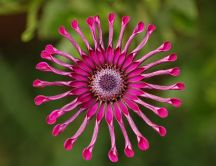 Interesting pink flower - osteospermum