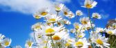 Daisies - spring flowers HD wallpaper