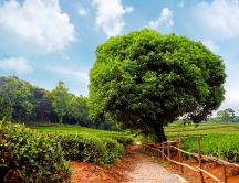 Big green tree - nature HD wallpaper