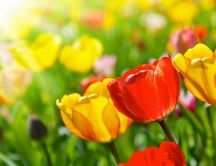 Spring perfume - garden full of colored tulips