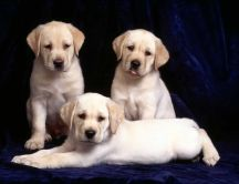 Three sweet Labrador puppies HD wallpaper