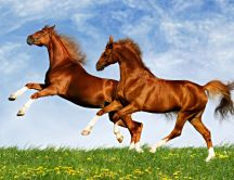 Two horses frolic on the plain - spring time