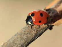 Life of ladybugs - macro HD wallpaper