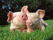 Two little sweet pigs
