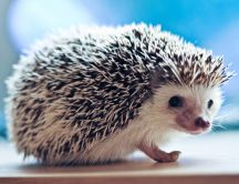 A pygmy hedgehog - HD wallpaper