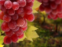 Delicious pink grapes - refreshing fruits
