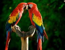 Two colorful parrots - beautiful birds