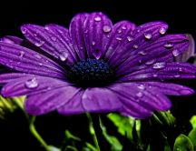Pure purple flower - drops of water